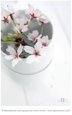Sakura blossom : part II. Une belle lumière révèle les délicates pétales de fleurs de cerisier japonais, rose pâles, éclatantes. Contemplation. Poésie. Inspiration ! WallArt ArtWorks Stylisme & photographies créations originales © Amélie Vuillon | mplusnature.com® | http://www.mplusnature.com