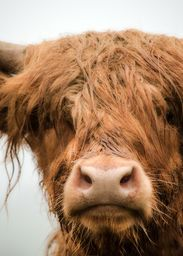 Bad Hair Day - photograph by Linsey Williams  #longhorns #highlandcows #crated @lin_dies