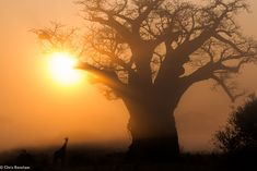 """5. Giraffe at sunrise, by guide Chris Renshaw. """"Pamushana is a very spiritual place, etched in history, and not just in the bushman rock art, but it is palpable in the air you breathe.""""  Singita, South Africa."""