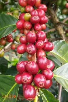 Kona Coffee, Coffee Farm, Coffee Milk, Coffee Is Life, Iced Coffee, Coffee Study, Coffee Break, Types Of Coffee Beans, Coffee Tamper