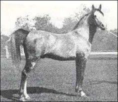 Gandhy 1931 grey stallion (Ursus X Gomara)