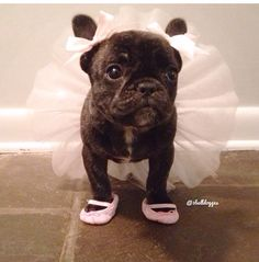 """My Dads Said I'm gonna be a Ballerina.....Whatev's"", French Bulldog Puppy."