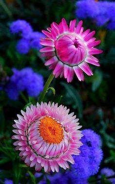 ~~Paper daisy, Rosy everlasting Flower by natureloving~~
