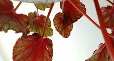 Residencial Villa Verde em Itu, SP Folhas vermelhas vistas de baixo pra cima.