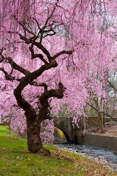 Cherry Blossoms by Carol Stauss