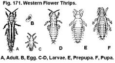 Flower Thrips are a harmful insect! they do not help the growing process
