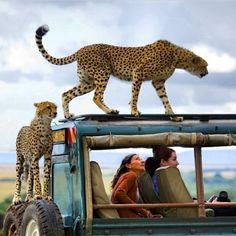 Earth Pics  Pics The correct way to see animals - In their natural habitat, African Safari. Photo by Yanai Bonneh. Safari Chic, Safari Theme, Safari Adventure, Adventure Travel, Kenya, Wildlife Safari, Out Of Africa, Cheetahs, Mundo Animal