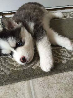 Wonderful All About The Siberian Husky Ideas. Prodigious All About The Siberian Husky Ideas. Cute Husky Puppies, Siberian Husky Puppies, Rottweiler Puppies, Siberian Huskies, Husky Puppy, Dogs And Puppies, Doggies, Puppy Goldendoodle, Labrador Puppies
