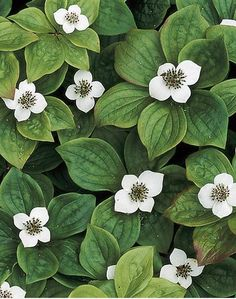 Bunchberry. Cute little white flowers cover the plants in spring. The real fun comes in autumn, when bright red fruits adorn the petite plants. The leaves also develop festive shades of bronzy-purple.  Name: Chamaepericlymenum canadense (also commonly called Cornus canadensis)  Growing Conditions: Full shade and well-drained soil  Size: To 6 inches tall  Zones: 2-7