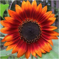 Package of 100 Seeds, Velvet Queen Sunflower (Helianthus annuus) Non-GMO Seeds By Seed Needs Sunflower Colors, Sunflower Pictures, Sunflower Art, Sunflower Tattoos, Sunflower Seeds, Sunflower Types, Sunflower Mandala Tattoo, Types Of Sunflowers, Sunflowers And Daisies