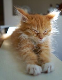 We do our best to scourer the web to bring you cute cat pics that will make you day. Cute Cats And Kittens, I Love Cats, Crazy Cats, Cool Cats, Kittens Cutest, Fluffy Kittens, Fluffy Cat, Animals And Pets, Baby Animals