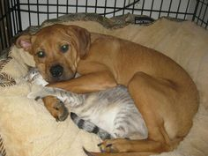 seriously dog and cat cuddling. #dogs #cats #cutepets #cute animals #pets