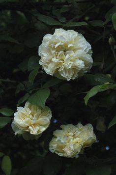 ~Tea Noisette Rose: Rosa 'Desprez à Fleurs Jaunes' AKA 'Jaune Desprez' (France, 1830)