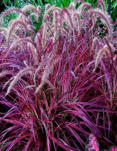 who doesn't love purple fountain grass?
