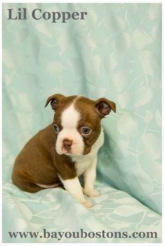 Lil Copper at five weeks. So cute. #bostonterrier #cutepuppies #bostonterrierpuppies