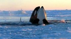 Killer whales trapped under the Canadian sea ice of Hudson Bay were able to free themselves after the ice and winds shifted creating a passage of water to the open sea. via abcnews Happy Orcas, Beautiful Creatures, Animals Beautiful, Dolphin Family, Sea Ice, Wale, Killer Whales, Ocean Life, Marine Life