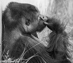 Gorilla at Hogle Zoo, Utah Thinking ma