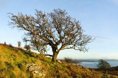 Image result for hawthorn tree