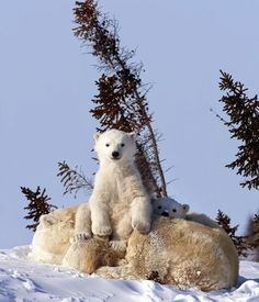 Wildlife photographer David Jenkins spent 10 years taking pictures of polar bears and their cub after being given a special permit to capture the bear's denning area in Wapusk National Park. Baby Polar Bears, Cute Polar Bear, Cute Bears, Pictures Of Polar Bears, Cute Animal Pictures, Cute Baby Animals, Animals And Pets, Funny Animals, Wild Animals