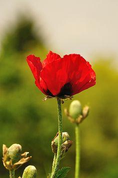 Pavot oriental rouge