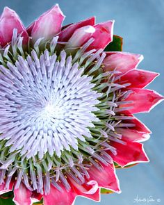 Protea Plant, Protea Flower, Flower Prints, Flower Art, King Protea, Australian Flowers, Order Flowers, Sign Printing, Abstract Flowers