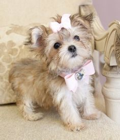 Morkie (Maltese X Yorkie) .... to die for adorable! Almost got a Morkie instead of a Maltese and that pup was the CUTEST!