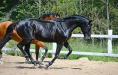 Two stallions Photos Bay stallion of Ukrainian riding breed and black stallion of Russian riding breed by Horses and Dogs