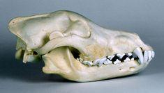 Will's Skull Page - Wolf Skull