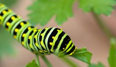 You may be conflicted about finding this caterpillar in your garden—whatever you do, handle the situation with care.