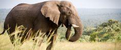 Ulusaba elephant