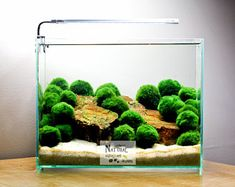 Image result for marimo moss ball aquarium