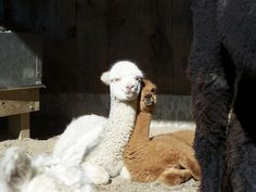 Animals in love on pinterest cute animals kissing animals kissing