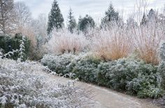 Himalayan Sweet Box, Sarcococca hookeriana var. digyna + pollarded golden willow, Salix alba var. vitellina in hoarfrost @ Anglesey Abbey.