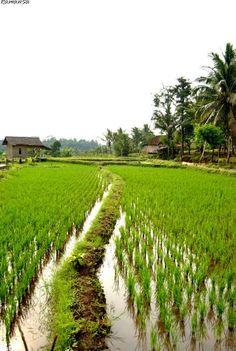 sawah village