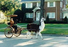 I want to be that person who rides around town on a llama cart Llamas, Paws And Claws, High Fantasy, Camels, Funny Animal Pictures, Farm Life, Beautiful Creatures, Animal Kingdom, Cute Animals