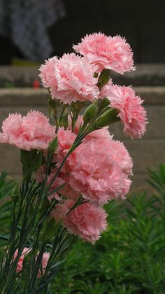 Garden Flowers - Annuals Or Perennials Dianthus Caryophyllus Peach Delight By Exotic Flowers, Amazing Flowers, Beautiful Roses, Beautiful Gardens, Pink Flowers, Beautiful Flowers, Carnation Plants, Dianthus Caryophyllus, Pink Carnations