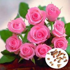 20pcs Pink Rose Flower Seeds Garden Romantic Flower Plant