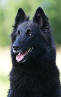 BELGIAN SHEPHERD OR MALINOISE    Any German Shepherd fanatics out there? If you're just a straight up German Shepherd fanatic then you're going to absolutely love these 9 other extremely GSD-esque breeds!