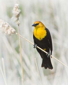 yellow headed blackbird | Yellow-headed Blackbird : eBirdr