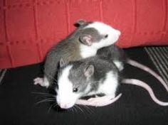 https://www.google.de/search?q=ratten