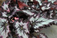 Jurassic Rex Begonia Silver Point ...