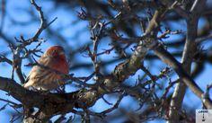 Purple Finch on a winters day.shot by Gavin Gillett