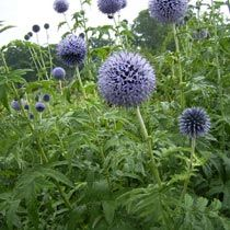 Globe Thistle/Echinops. 'Taplow Blue' Full sun, Partial shade. Hardy. Flowers attract a large number of bees, butterflies and other insects. Lift and divide overcrowded groups in autumn or spring.