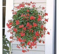 hanging geraniums - natural mosquito repellent