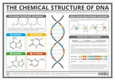 Today's post crosses over into the realm of biochemistry, with a look at the chemical structure of DNA, and its role in creating proteins in our cells. Of course, it's not just in humans that DNA is found - it's present in the cells Science Chemistry, Science Facts, Life Science, Organic Chemistry, Forensic Science, Biology Lessons, Teaching Biology, Dna Facts, Dna Replication