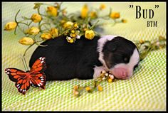 Litter of 5 Australian Shepherd puppies for sale in BAYTOWN, TX. ADN-70235 on PuppyFinder.com Gender: Male(s) and Female(s). Age: 2 Weeks Old
