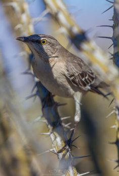 Northern Mockingbird (Mimus polyglottos) mockingly hiding from... - http://blog.clairepeetz.com/northern-mockingbird-mimus-polyglottos-mockingly-hiding-from/