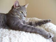 Cat ready for adoption: Domestic Short Hair / Mixed (short coat) named Doodle in York, SC
