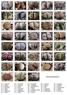 Types of Lithops.Roundcube Webmail :: 10 more Pins for your Succulents, Aloes and Cactus board Types Of Succulents, Growing Succulents, Cacti And Succulents, Planting Succulents, Planting Flowers, Succulent Gardening, Succulent Terrarium, Garden Plants, House Plants