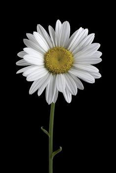Shasta Daisy by Paul Coffin, via Flickr
